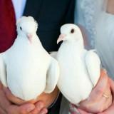 Белоснежные свадебные голуби